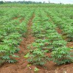 El origen de la yuca y su producción en el mundo